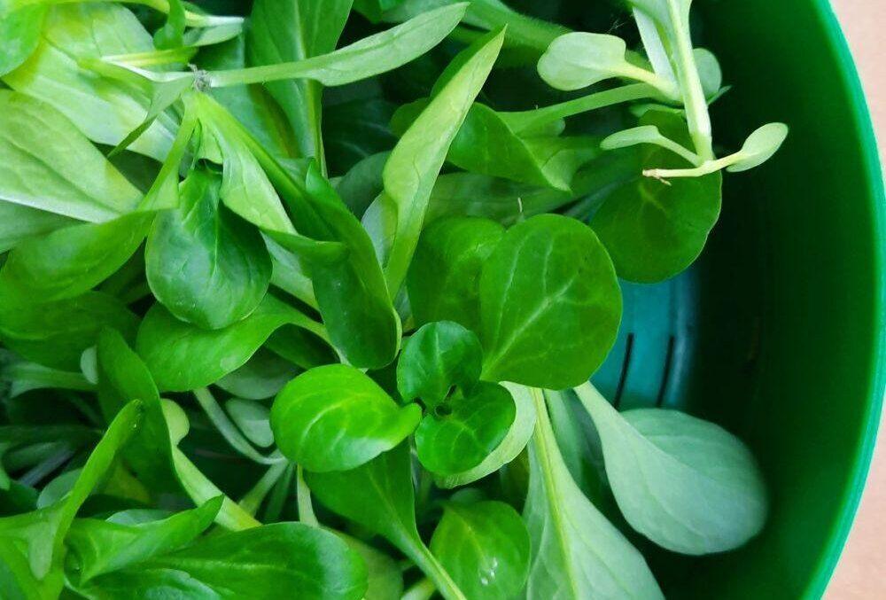 balkon növény saláta fajták