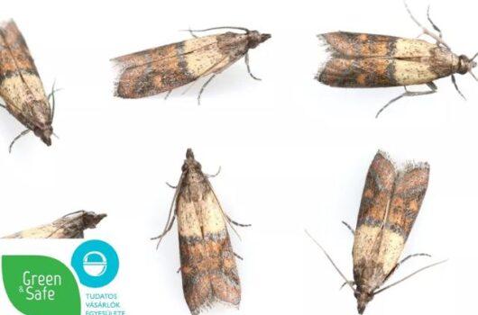 moly kártevő rovarok a lakásban