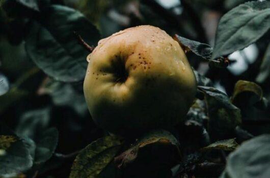 idénynövény mi fán terem birs
