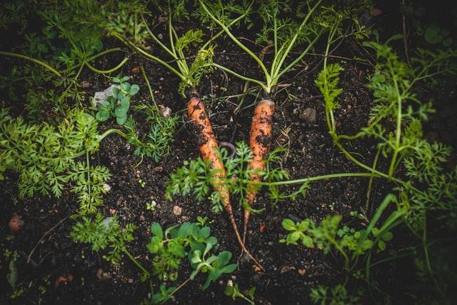 idénynövény sárgarépa