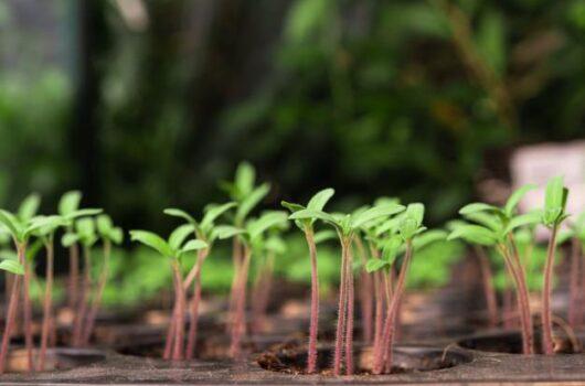 mag génbank tájfajta növény