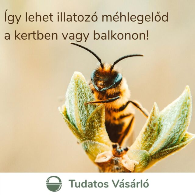 🌿Nem minden gaz, ami annak látszik. Van, ami méhlegelő!🌿 Ma van a 🐝Méhek Világnapja🐝, ezért hoztunk egy útmutatót, hogyan legyen szemet gyönyörködtető, illatos🌺🌼 és méhbarát kerted vagy balkonod!  📣Kattinst a linkre a bióban, és küldd el a posztot ismerőseidnek is!  🐝Nemrég ünnepeltük a Méhek Napját Magyarországon, most pedig nemzetközi szinten is ők kerülnek a fókuszba, és valljuk be, amilyen keményen dolgoznak ezek az aprócska rovarok, meg is érdemlik. Korábban írtunk róla, hogy a méhpusztulásban nagy szerepet játszanak a különböző ❌növényvédő- és rovarirtó szerek❌, emellett nagy problémát jelent a növénytakaró csökkenése is. Ha szeretnél tenni valamit azért, hogy ne tűnjenek el az ökoszisztémánk meghatározó szerepelői, a méhek, olvasd el a cikket, és ültess magadnak méhlegelőt a kertbe vagy a balkonodra! 🌺🌼 🖋Szöveg: @planttogether / Bajzák Anna 📸Fotó: Lisa / Unsplash  #zöldforrás #tudatosvasarlo #méh #méhek #savethebees