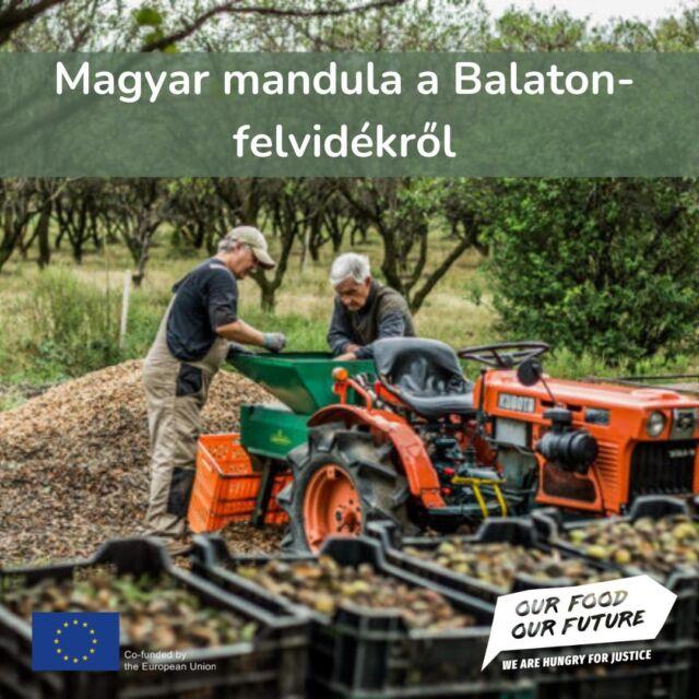 """🌰Tudtad, hogy létezik magyar mandula? De ki tudja meddig... A klímaváltozás hatásai az elmúlt 5 évben a Balaton-felvidéki mandulatermesztők is komolyan megérezték: nagy aszályok, a hirtelen jött fagyok, lehűlések megtizedelhetik, vagy akár teljesen le is nullázhatják a termést. Szerzőnk a Birkás családi Mandulafarm és Biokertészetben járt, ahol a 83 éves Birkás Balázs biogazda munkálkodik a '90-es évek óta - a cikket megtalálod a bióban található linken. 🌰Birkás Balázs a mandulatermesztést külföldön tanulta meg: járt Kaliforniában, Andalúziában, Szicíliában, közben mindig hazajött, hogy ki tudja termelni a következő utazás költségeit. A vegyszeres gazdálkodástól Kaliforniában ment el a kedve, ahol szkafanderben kellett szüretelni, mert olyan vegyszerrel kezelték a fákat, amitől az egész lombját ledobta. Pusztán az egyszerűbb szüret miatt. Ő a biogazdaságában csak engedélyezett ökológiai szereket használ. 🌰Nagyházi Szilvia 3000 mandulafás gazda a környéken: """"Tíz év alatt a mocsaras részek olyan aszályosak lettek, hogy ma már repedeznek"""" – mondja. Emellett sok új gombabetegség is megjelent, amivel sokszor még a nagyon tapasztalt gazdák sem tudnak mit kezdeni. Míg 50 éve elég volt egyszer-kétszer permetezni, az elmúlt években előfordult, hogy 14-16 alkalommal is szükségessé vált egy-egy rezes lemosás.  🌰Magyarországon három mandulatermő térség van: az Érd-Sasadi Hátság, a Balaton-felvidék és egy kis terület a Mecsekben. Ma a Balaton-felvidéki a legjelentősebb, de az összes termőterület sem látja el a magyar igényt, hazánk nettó importőr mandulában. 🌰Birkás Balázzsal vasárnaponként a Káptalantóti Liliomkert piacon lehet találkozni: biozöldséget és mandulát árul, úgyhogy ha arra jársz, nézz el hozzá!  #NKA #OurFoodOurFuture #GoEAThical #OFOF #DEARProgramme  #klímabarátkonyha #klímabaráttányér #foodie #táplálkozás #tudatoséletmód #egészség  #egészségeséletmód #életmód #életmódváltás #mutimiteszel #mik_gasztro_fitt #mutimiteszel_fitt #veggies #gasztro #zöldség #mutimitesze"""